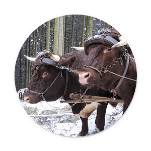 Rinder waren eine sehr lange Zeit täglicher Arbeitspartner auf den Höfen. Kaum ein Bauer kam ohne die Zugkraft der gutmütigen und kräftigen Tiere aus. öipk