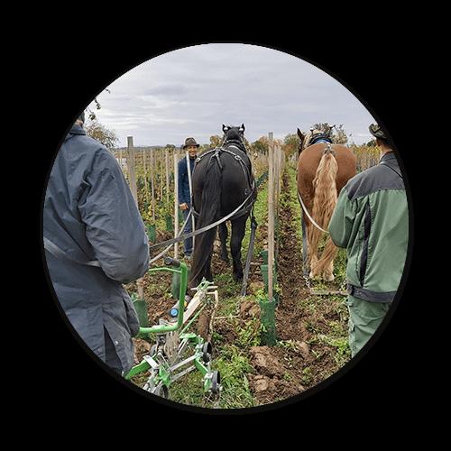 Pferde im Weinbau öipk